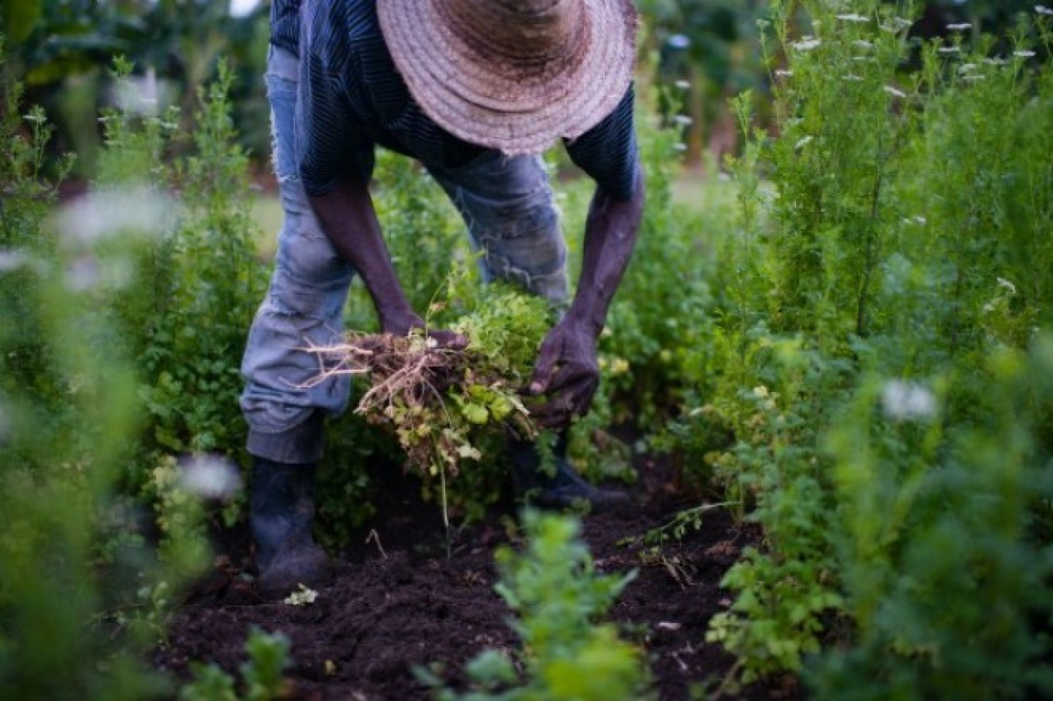 Early in the morning, as the sun rises, Geraldo Carrion, 72, picks cilantro plants that have gone to seed, on a small farm in Santiago, Cuba. (Sarah L. Voisin/The Washington Post)
