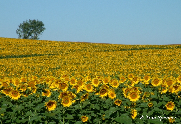 NDSunflowerField1