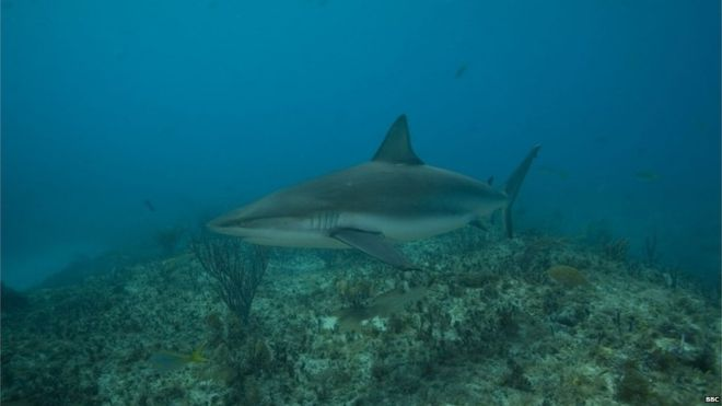 Scientists believe almost 100 of the world's 500 shark species are present in Cuban waters